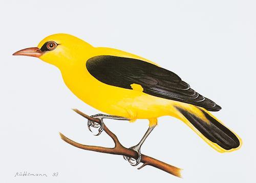 Hans Rüttimann, Pirol - Oriolus oriolus, Tiere: Land, Tiere: Luft, Realismus