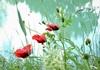 Wally Leiking, poppies, Pflanzen: Blumen, Pflanzen, Abstrakte Kunst