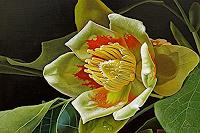 D. Moravec, Liriodendron Tulipifera