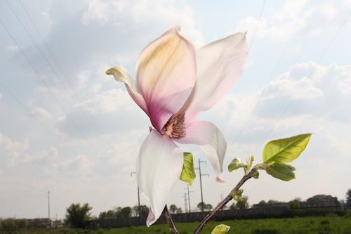 Magnolia Von Dominique März Pflanzen Blumen Fotografie