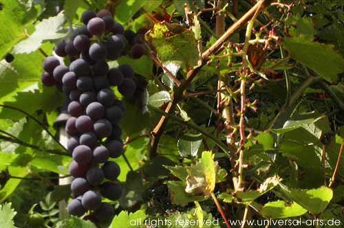 universal arts Jacqueline Ditt & Mario Strack, Wine (before & after) von Mario Strack, Natur: Erde, Pflanzen: Früchte, Naturalismus