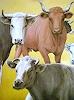 J. García y Más, Cows / Kühe
