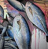 T. Suske, Catch of the fishermen