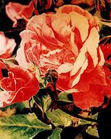 v. schwarz, Rosen