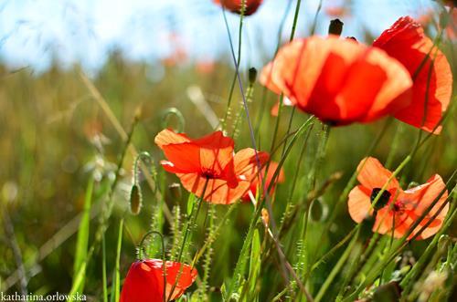 Katharina Orlowska, Mohnblumen in Polen, Pflanzen: Blumen, Landschaft: Sommer, Abstrakte Kunst
