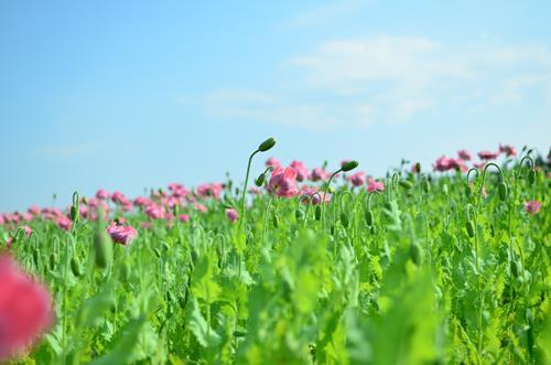 Katharina Orlowska, Mohnblumen in Tschechien, Pflanzen: Blumen, Landschaft: Sommer, Abstrakte Kunst