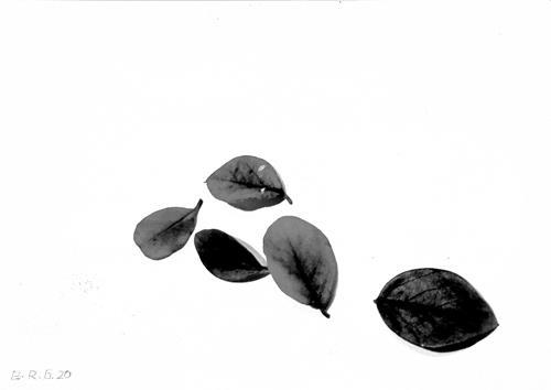 Brigitte Raz-Goldau, Fünf Herbstblätter 1-3    Nr. 2, Pflanzen, Natur, Gegenwartskunst