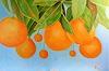 Anne Petschuch, Orangenbaum